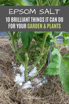Start using Epsom salt today, for the benefits of your plants and garden. #epsomsalt #epsomsaltuses...