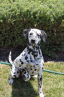 Dalmatian a very beautifull dog! love the spots!!