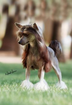 Is this dog's hair real or did they put red hair extensions on this dog? Creepy....