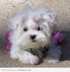 Maltese puppy dog...Embrace messy hair!