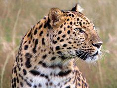 """Leopardo (Panthera pardus), também chamado de """"onça"""" em Angola, é, junto com o leão, tigre e onça-pintada, um dos quatro """"grandes gatos"""" do gênero Panthera. O leopardo-nebuloso (Neofelis nebulosa) e o leopardo-das-neves (Uncia uncia) são espécies que pertencem a gêneros diferentes, apesar do nome leopardo em comum, embora não sejam verdadeiramente leopardos."""