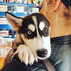 #kutya #husky #brownandblue #puppy www.facebook.com/everybodri