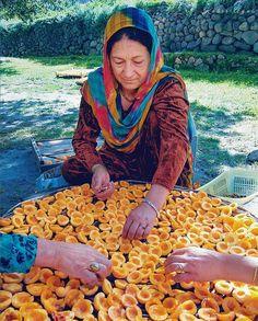 Drying apricots Gojal Hunza Valley Pakistan