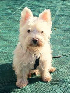 betsey Johnson has a west highland terrier - Yahoo Image Search Results West Highland Terrier Puppy, Terrier Puppies, Cutest Dog Ever, West Highland White, White Terrier, White Dogs, Dogs And Puppies, Doggies, Dog Portraits