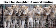 Demand Groupon to remove deal that promotes canned lion hunting in South Africa http://animals.nationalgeographic.com/animals/big-cats-initiative/get-involved/