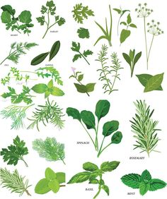 Herbs illustrations vector