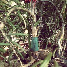 こんにちは。天候は、晴れ。ラックから落下した際に折れたローズマリーは、ビニールテープで養生しています。復活を信じて。今日もよろしくお願いします。 #Hi #안녕하세요 #Привет #sunny #gardening #rosemary #herb #vinyl #tape #ローズマリー #ビニール #テープ #養生
