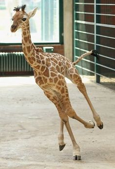 I'm late for a very important appointment! Two-week-old Jule, a baby Rothschild giraffe, gallops around her enclosure at Tierpark Zoo in Berlin. Photo: Sean Gallup, Getty Images / SF