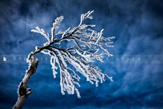 Pin this beautiful frozen tree from Benoit Daoust for your next icy winter project requirement. Creative Stock + Exclusivity on the GO! Stockiste.com  Full view: https://www.stockiste.com/display/frozen-trees-on-to-on-a-mountain/5034 #Stockphoto, #Creative, #Frozen, #Winter, #Photographer, #Stockiste   Frozen trees on to on a mountain © Benoit Daoust