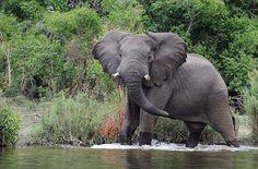 Elephant, photo by Bostjan @www.pbase.com (photo at Hippo Lodge in Kafue National Park, Zambia) - Pixdaus