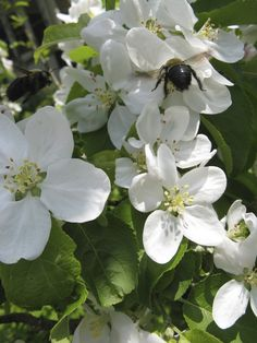 Malus Pristine (Very Early Apple) flowers are pollinated by bees. Apple Flowers, White Trees, Apple Tree, Bees, Fruit, Plants, Plant, Planets