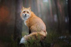 Freya-ce-magnifique-renard-domestique-par-Iza-lyson-18