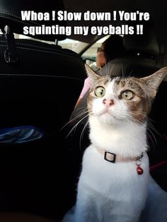 Funny Cat Memes, Funny Cats, Funny Animals, Animal Humour, Silly Cats, The Funny, Laughter, Lol, Humor