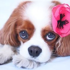 "Abbey Bella Cavalier <span class=""emoji-outer emoji-sizer""><span class=""emoji-inner"" style=""background: url(chrome-extension://immhpnclomdloikkpcefncmfgjbkojmh/emoji-data/sheet_apple_64.png);background-position:2.5% 97.5%;background-size:4100%"" title=""hearts""></span></span>"