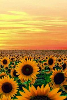 I've always loved sunflowers. They're beautiful, bold, and happy. Sunset in Sun Flower FieldI've always loved sunflowers. They're beautiful, bold, and happy. Sunset in Sun Flower Field Beautiful World, Beautiful Places, Beautiful Gorgeous, Beautiful Sunset, Sunflower Fields, Field Of Sunflowers, Wild Sunflower, Sunflower Garden, Sunflower Family