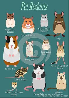 Illustration about Collection of hamster breeds, various breed, front side with breed name. Illustration of face, animal, hamsters - 135389838 Hamster Pics, Hamster Breeds, Hamsters As Pets, Pet Rodents, Funny Hamsters, Hamster Care, Syrian Hamster, Dwarf Hamster Cages, Rats