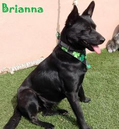 Meet+Brianna,+a+Petfinder+adoptable+German+Shepherd+Dog+Dog+|+San+Diego,+CA+|+Brianna+is+2+years+old+and+weighs+31+lbs.+She+is+good+with+other+dogs,+good+with+children+and...