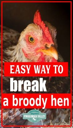 If you have kept chickens for any amount of time, you have probably come across a broody hen. Some broody hens are very persistent and refuse to go un-broody for quite some time. If you have a broody hen you might be wondering how to break a broody hen and get her back to laying! What Can Chickens Eat, Raising Backyard Chickens, Keeping Chickens, Silkie Hen, Silkie Chickens, Chicken Bird, Chicken Cages, Meat Rabbits, Meat Chickens