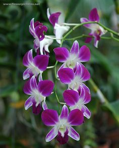 Dendrobium - also comes in white Available for Scottish brides in February. Contact The Stockbridge Flower Company for more details.