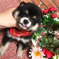 Japanese Dog Breeds, Japanese Dogs, Cute Puppies, Cute Dogs, Funny Cat Pictures, Dog Memes, Shiba Inu, Akita, Puppy Love