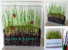Growing grass seeds in a cd case - good to show the growth of a plant including the root system