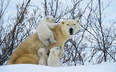 These images show the intimate relationship between polar bear mothers and their young as they emerge from their winter hibernation