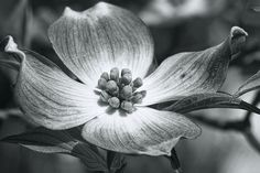 Alabama Spring Dogwood Blossom in Black and White