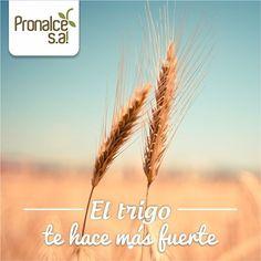 El trigo ayuda a la resistencia y el desarrollo muscular, es una fuente de…