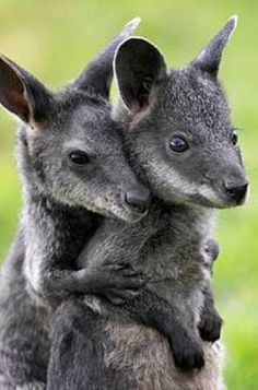 "Wallaby Love...""listen to me...you can do it"""