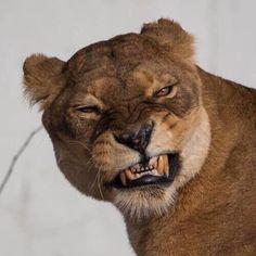 "Lion Doing Her ""Satchmo"" Bit Gato Grande, Mountain Lion, Wild Life, Big Cats, Beautiful Creatures, Animal Kingdom, Hogwarts, Safari, Beast"