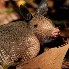 Visit our website, www.danta.info, or blog, www.dantablog.wordpress.com, to learn more about our field courses and what we do!  Photo by: Manuel Sanchez Mendoza  #anthropology #nature #wildlife #armadillo #animals #wildlifephotography #appreciate #fieldschool #fieldcourse #wordpress #studyabroad #explore #immerse #biology #adventure #rainforest #monkeys #jungle #osa #puravida #costarica #conservation #biodiversity #DANTA
