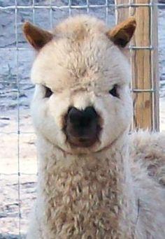 Teddy - the cutest alpaca EVER ;)