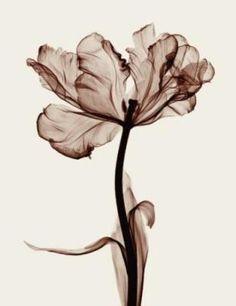 See through tulip