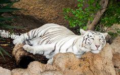 Weißer Tiger im Loro Park, Teneriffa © Susanna Wiedermann / Restplatzbörse Tiger, Wolf, Bear, Animals, Viajes, Last Minute Vacation, Teneriffe, Gifts, Animales