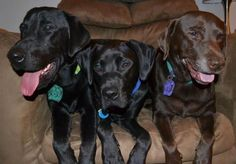 Introducing Lab Rescue LRCP who rescue DC-area Labrador Retrievers and provide veterinary care, foster homes & adoptions. Keep the giving spirit alive by donating goods or funds to support their work.
