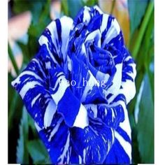New-Fresh-Rare-Blue-Dragon-30-Rose-Flower-Seeds-High-Survive-Rate-Free-Shipping Wow I just saw this on eBay!