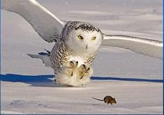 Snow owl and a mouse