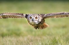 Incoming Eagle Owl ! by MattGould via http://ift.tt/2dPD2te