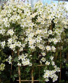 Avalanche Evergreen Clematis is covered with pure white flowers early to mid-spring. Excellent for training to a trellis and pruning to desired height. Grows well in full sun to part shade, feet long. Evergreen Clematis, Flowering Vines, Shade Evergreen, Evergreen Flowers, Autumn Clematis, Back Gardens, Outdoor Gardens, Clematis Trellis, Clematis For Shade