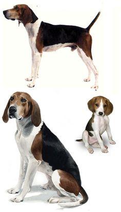 Treeing Walker Coonhound Dog Breeds