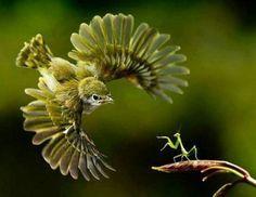 War giữa Mantis Little and Green Bird hdwallpapers.cat