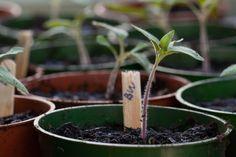 Heirloom Brandywine tomato seedlings