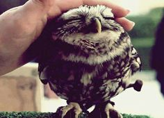 Lovely Owl by Mr. Nura-T. Isnt he adorable! ladylisar Lovely Owl by Mr. Nura-T. Isnt he adorable! Lovely Owl by Mr. Nura-T. Isnt he adorable! Baby Owls, Cute Baby Animals, Animals And Pets, Funny Animals, Wild Animals, Owl Babies, Funny Owls, Baby Elephant, Cute Creatures