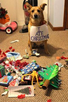 """""""I ate Christmas"""". Funny dog pic!"""