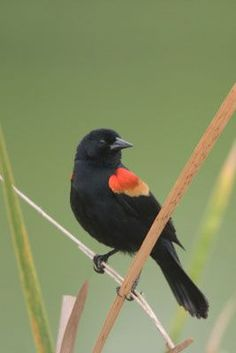 ... Birds - Red Winged Blackbird on Pinterest | Nests Pictures and Birds
