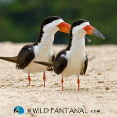 Black Skimmers. Pantanal, Brazil   Saw these on the sand flats in Trinidad.