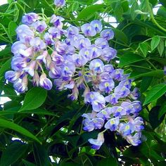 "Blue Moon Wisteria Plant - Potted - Huge Fragrant Blooms - 2.5"""" Pot"
