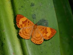 Butterflies of Amazonia - Synargis orestessa - Orestessa Metalmark