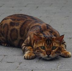 The say that house cats aren't too far off from the big cats of the wild, and after seeing Thor the Bengal cat, I have to agree! Thor's fur pattern is so beautiful, paired with his mesmerizing green eyes, he is easily one of the prettiest cats I've ever seen. But what is so special...