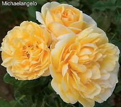 With Its Sweet Lemony Fragrance And Vibrantly Saturated Golden Petals This A Rose Will Find Permanent Home In Your Garden